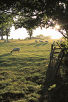 Sheep_grazing_in_english_field_uk_w